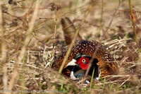 Busted, facial expression of male pheasant