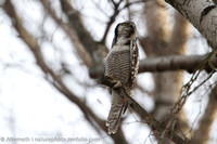 Playing dead tree. Hawk-owl gets fritghened when Northern Goshawk flies over. Note the elongated body.