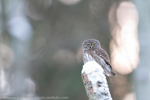 Sunset lit Pygmy Owl looking at us - What was he thinking?