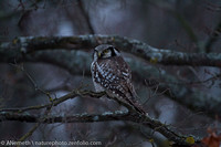 No mouse safe! -Northern Hawk-Owl on the watch