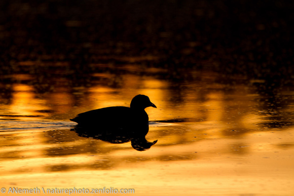 Eurasian coot in sunset reflection